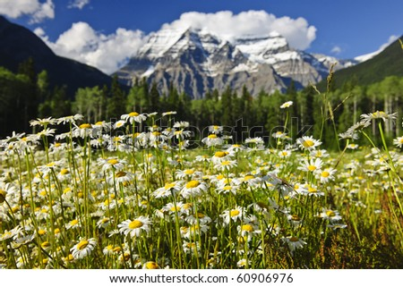 Daisies blooming at Mount Robson Provincial Park, Canada - stock photo