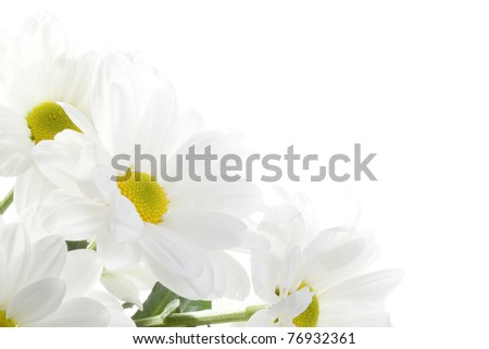 Daisies flowers on white background - stock photo