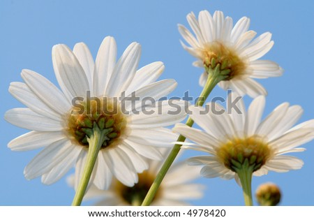 Daisies from Below - stock photo