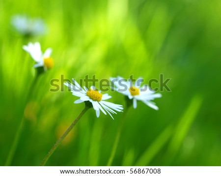 Daisies in a meadow, close-up - stock photo