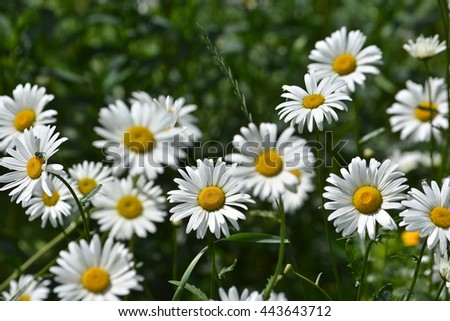 Daisies in a summer meadow.