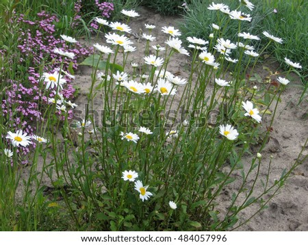 Daisies in the garden. Color photograph of flowers. Photos for your design.