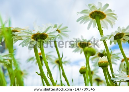 Daisies on a field, summer wildflowers
