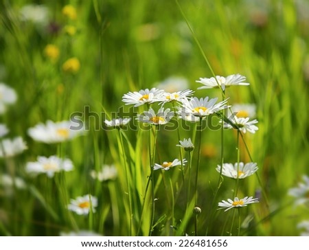 daisies on a meadow - shot with shallow depth of field - stock photo