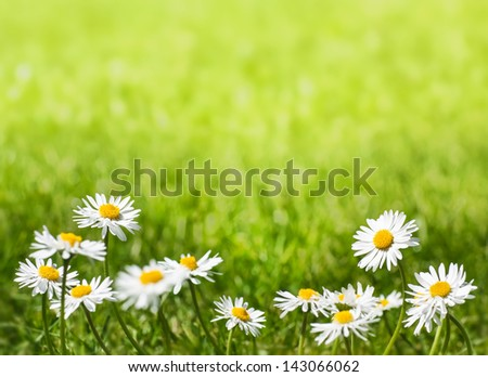 Daisies on a Sunny Lawn with Copy Space - stock photo