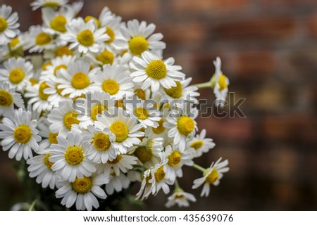 Daisies on the bench outdoor, background - stock photo