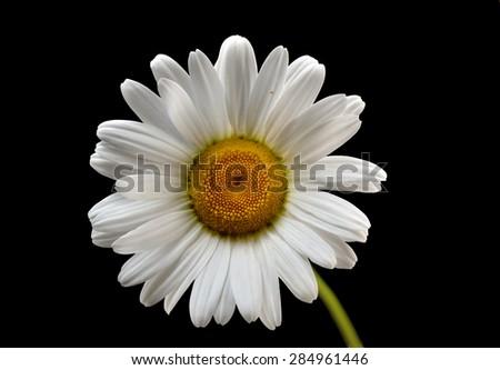 Daisies white flower on a black background - stock photo