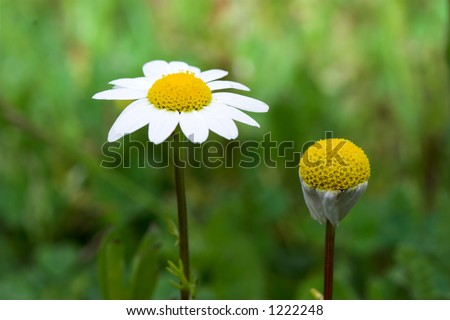 Daisy against another daisy
