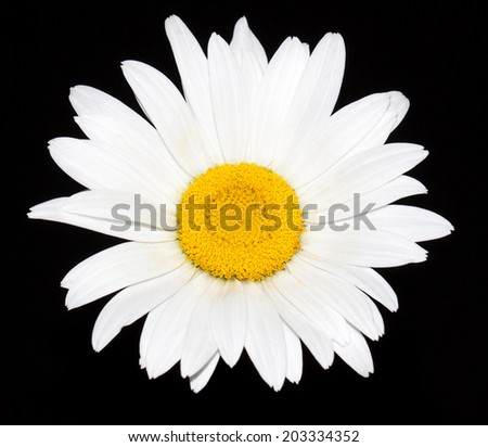 Daisy. Beautiful camomile. White isolated  flower on black background. Nice wallpaper, greeting card,  interior design image. - stock photo