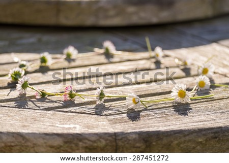 Daisy Chain on a wooden table, selective focus on foreground daisy - stock photo