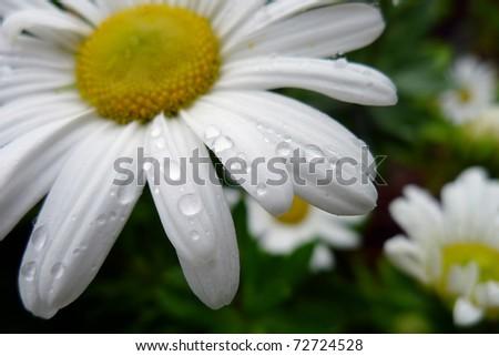 Daisy closeup with drops - stock photo