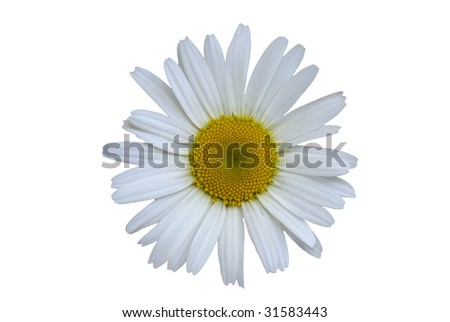 Daisy completely isolated on white background.