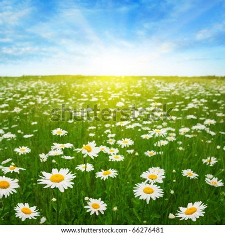 Daisy field,blue sky and sun. - stock photo