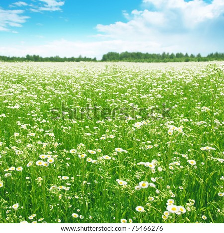 Daisy field on summer day. - stock photo