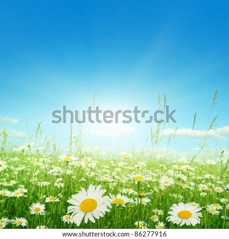 Daisy field on sunny summer day. - stock photo