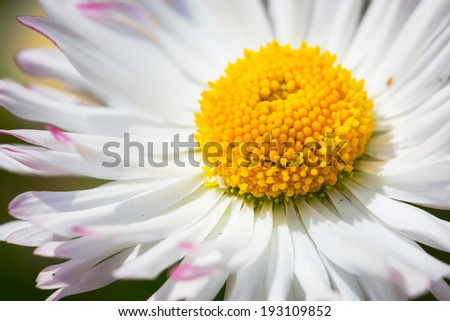 Daisy flower close up - stock photo