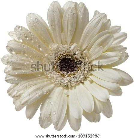 Daisy flower gerbera head bud  isolated on white background - stock photo