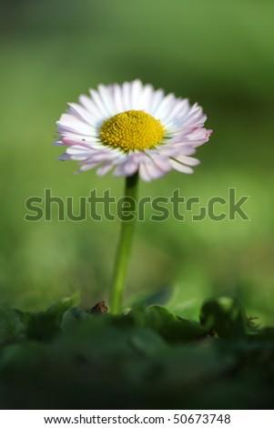 Daisy flower in a green field - stock photo