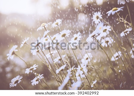 Daisy flower in spring rain,nature background. - stock photo