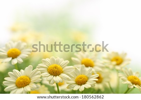 Daisy flower in the field,Closeup - stock photo