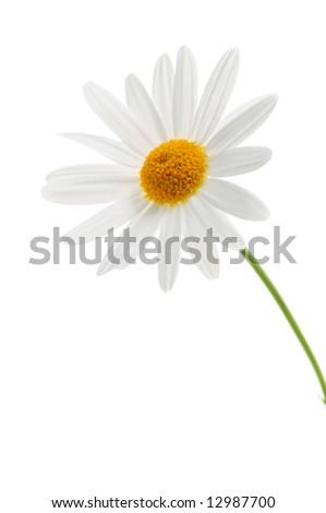Daisy flower isolated on white background - stock photo