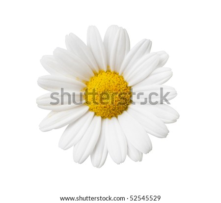 Daisy flower isolated with hand made clipping path - stock photo