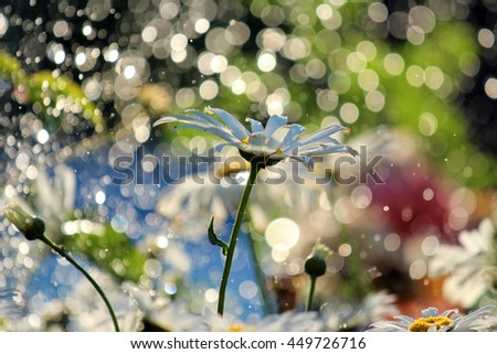 daisy flower on background with bokeh   - stock photo