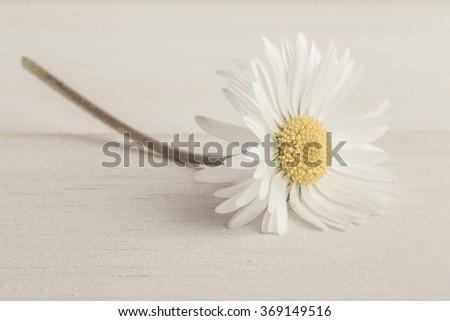 daisy flower on wood - stock photo