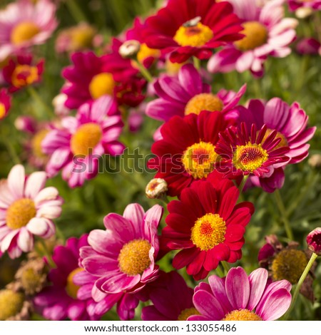 Daisy flower - Spring flower close up - stock photo