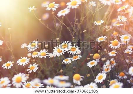 Daisy flower - wild chamomile - stock photo