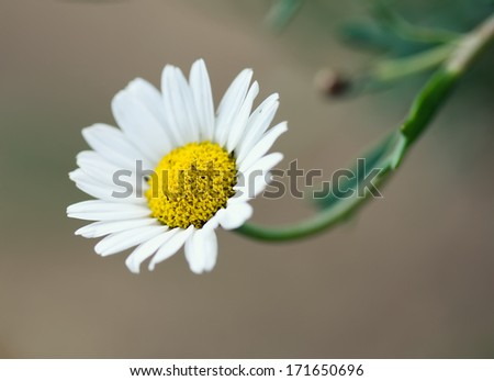daisy flower with shallow depth of field - stock photo