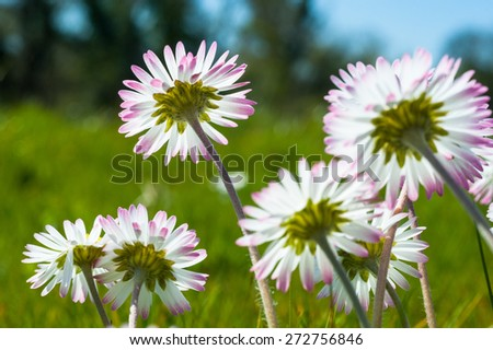 daisy flowers blooming  - stock photo