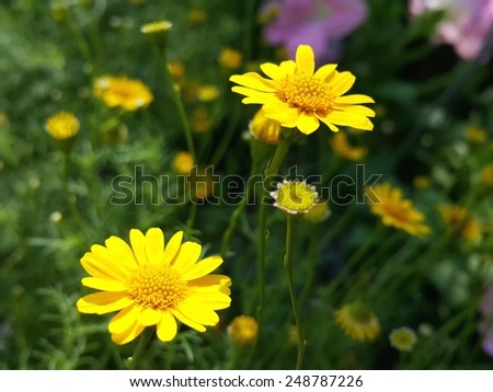 daisy flowers blooming in the garden - stock photo
