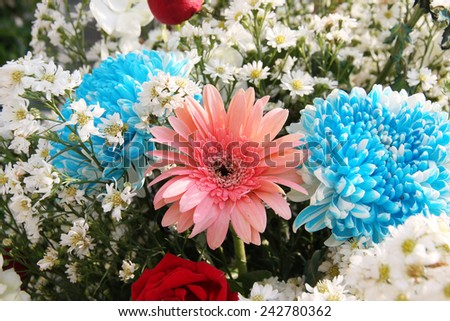 Daisy flowers Bright Blue Chrysanthemum Flowers and with small flowers. - stock photo