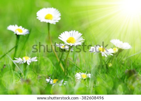 Daisy flowers in grass.  - stock photo