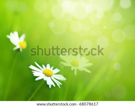 Daisy flowers in sunny meadow. Spring theme.