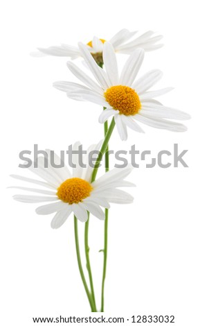 Daisy flowers isolated on white background - stock photo