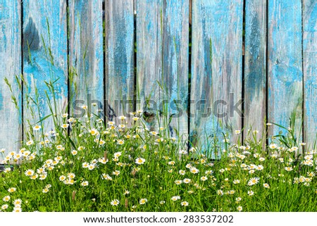 Daisy flowers on a background of wooden fence - stock photo