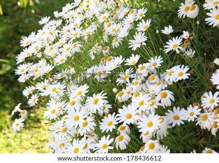daisy flowers on meadow in summer time