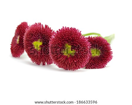 Daisy flowers or Bellis Perennis on a white background    - stock photo