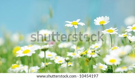 Daisy flowers (selective DOF), spring series B - stock photo