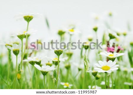 Daisy flowers (shallow DOF); spring series C - stock photo