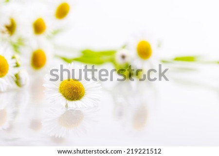 daisy flowers solated on white background - stock photo