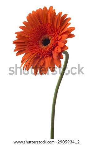 Daisy Gerbera Flower on white - stock photo