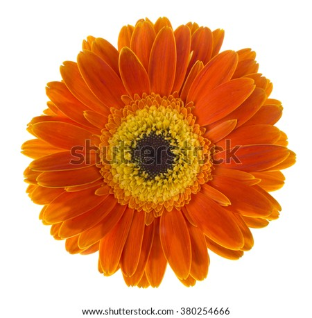 Daisy Gerbera Flower on white - stock photo