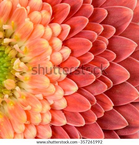 Daisy gerbera flowers (macro) - stock photo