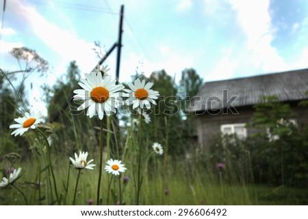 daisy growing in a field - stock photo