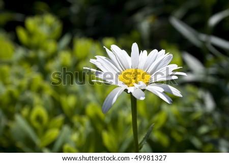 Daisy in the Garden - stock photo