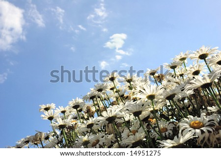 Daisy inflorescence against a blue sky