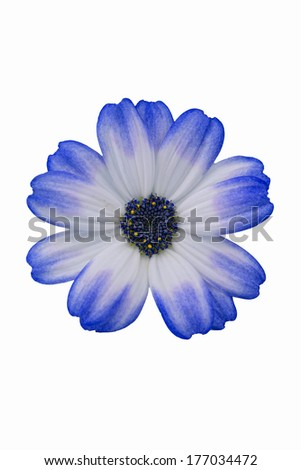 Daisy isolated - stock photo